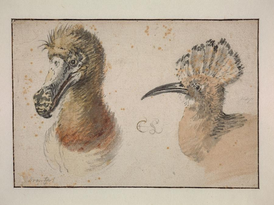 The Heads of a Dodo and a Hoopoe Hen